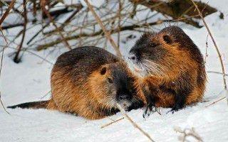 Содержание и разведение нутрий в зимнее время