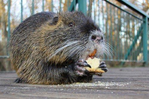 Нутрия ест хлеб