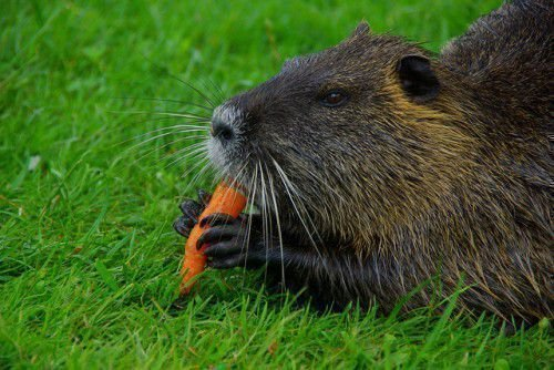 Нутрия кушает морковь