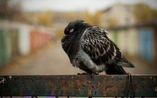 Симптомы болезни орнитоза у голубей