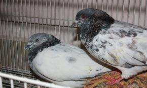 Искусные летуны - пакистанские бойные голуби