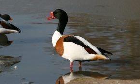 Атайка, известная как пеганка - особенности вида уток