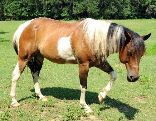 Пегая лошадь гуляет