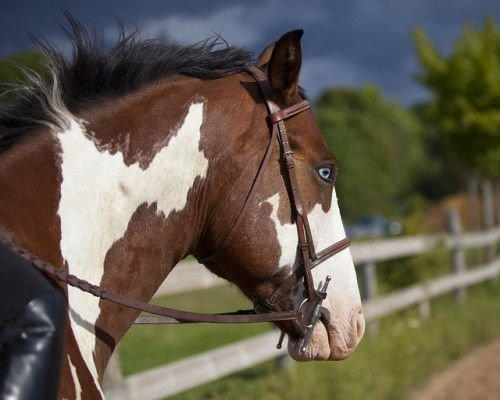 Пегий конь с голубыми глазами