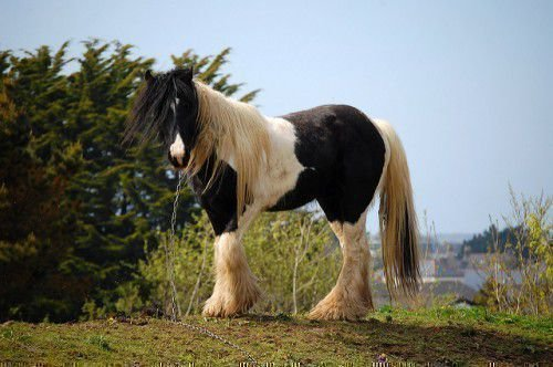 Породистая лошадь
