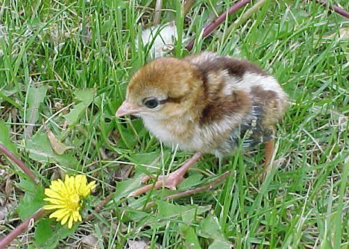 Птенец фазана