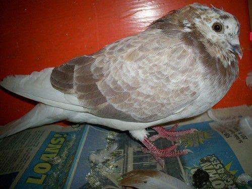 Пятнистый голубь