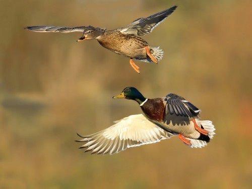 Селезень и самка кряквы летят