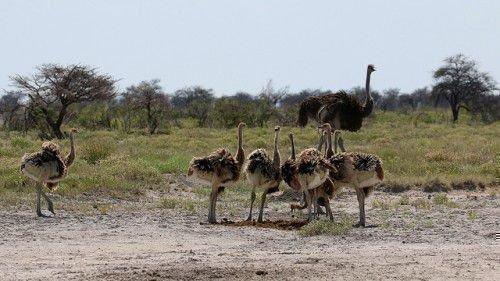 Семья страуса