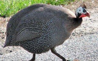 Породы птиц цесарок: описание видов