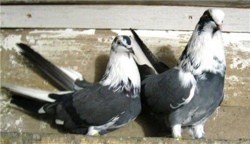 Серпасто выворотные голуби