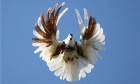 Отличительный черты серпатых голубей