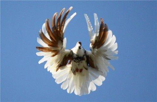 Серпасто выворотный голубь в полете