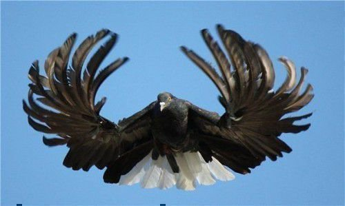Серпастый голубь