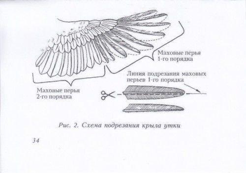 Схема подрезания крыльев утки