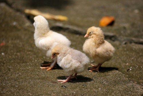 Сонные цыплята