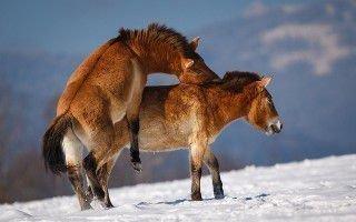 Как спариваются лошади? Для чего?