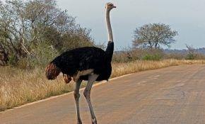Красивая и крупная птица – страус