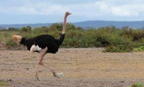 Скорость бега страуса