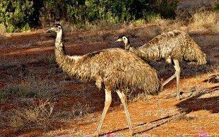 Что за птицы австралийские страусы