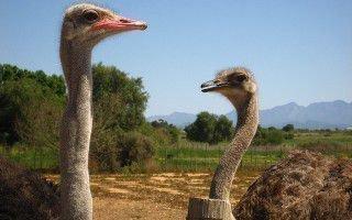 Чем кормить африканского страуса