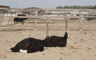 Средний вес страусов