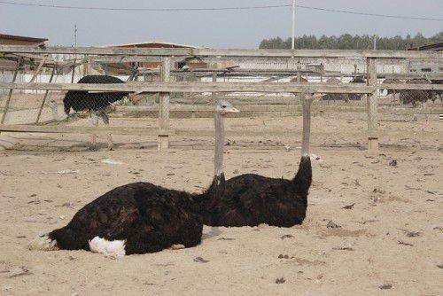 Страусы лежат на ферме