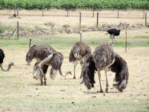 Страусы пасутся на ферме