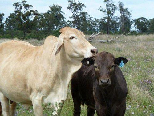 Теленок и корова на лугу