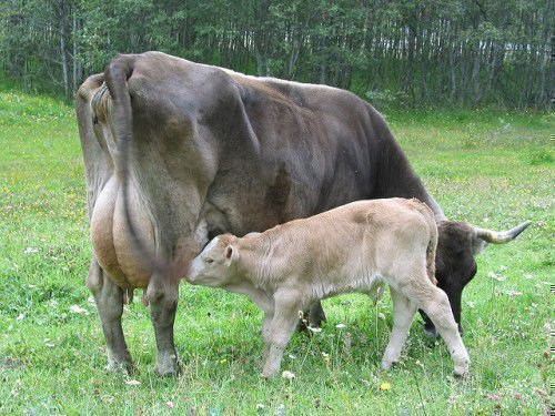 Теленок сосет корову