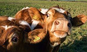 Какими инфекциями может заразится теленок