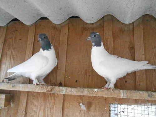 Тибризские голуби