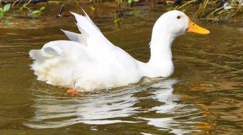 Утка в воде