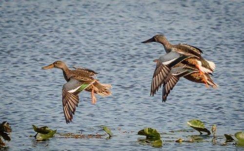 Утки широконоски летят
