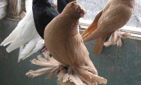Узбекские старопородные голуби, их разновидности
