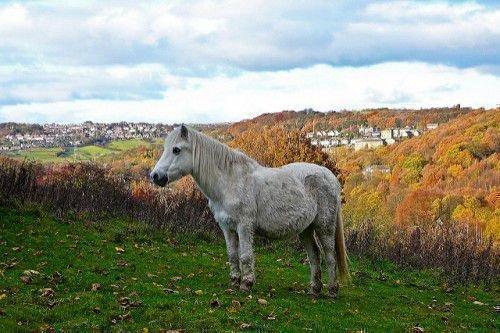 Валлийский пони