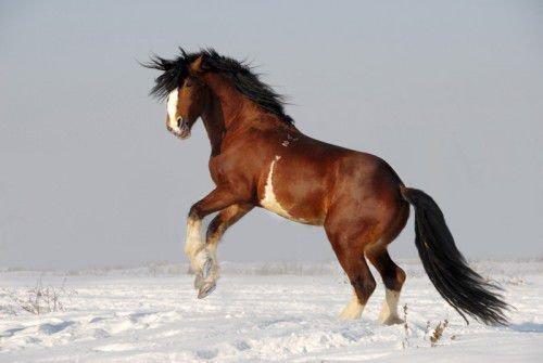 Владимирский тяжеловоз конь