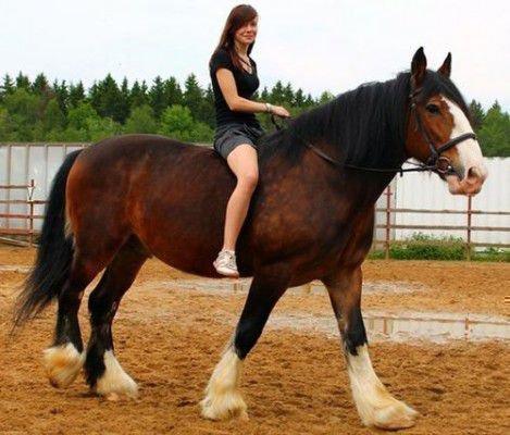 Владимирский тяжеловоз лошадь