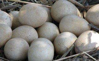 Польза и вред цесариных яиц