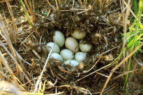 Яйца дикой утки