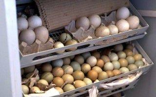 Как вырастить яйца фазана в инкубаторе