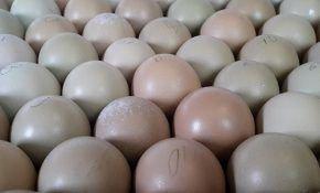 Полезные свойства яиц фазана