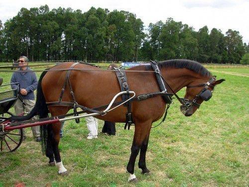 Запряженная лошадь