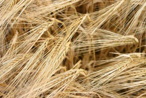 Зерно на поле