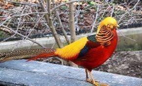 Фазаны и домашнее хозяйство. Как содержать и разводить дикую птицу в домашних условиях
