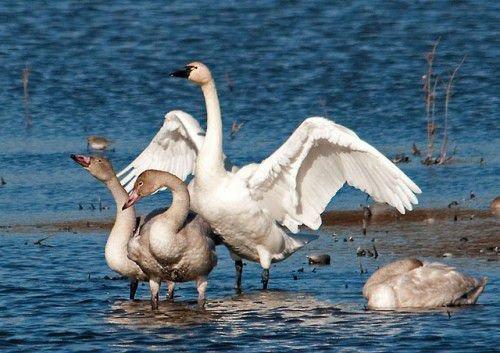 Американские лебеди