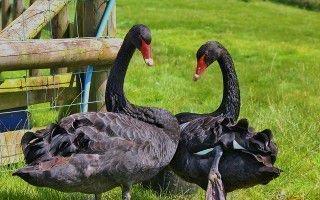 Разнообразные породы прекрасных лебедей
