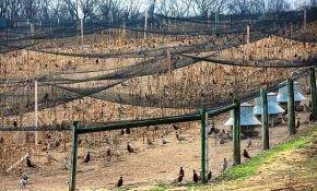Свой бизнес: ферма по выращиванию и содержанию фазанов