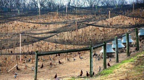 Ферма фазанов