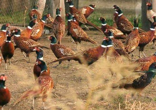 Фермерские фазаны